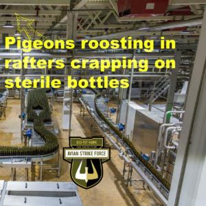 Pigeons roosting in ceilings