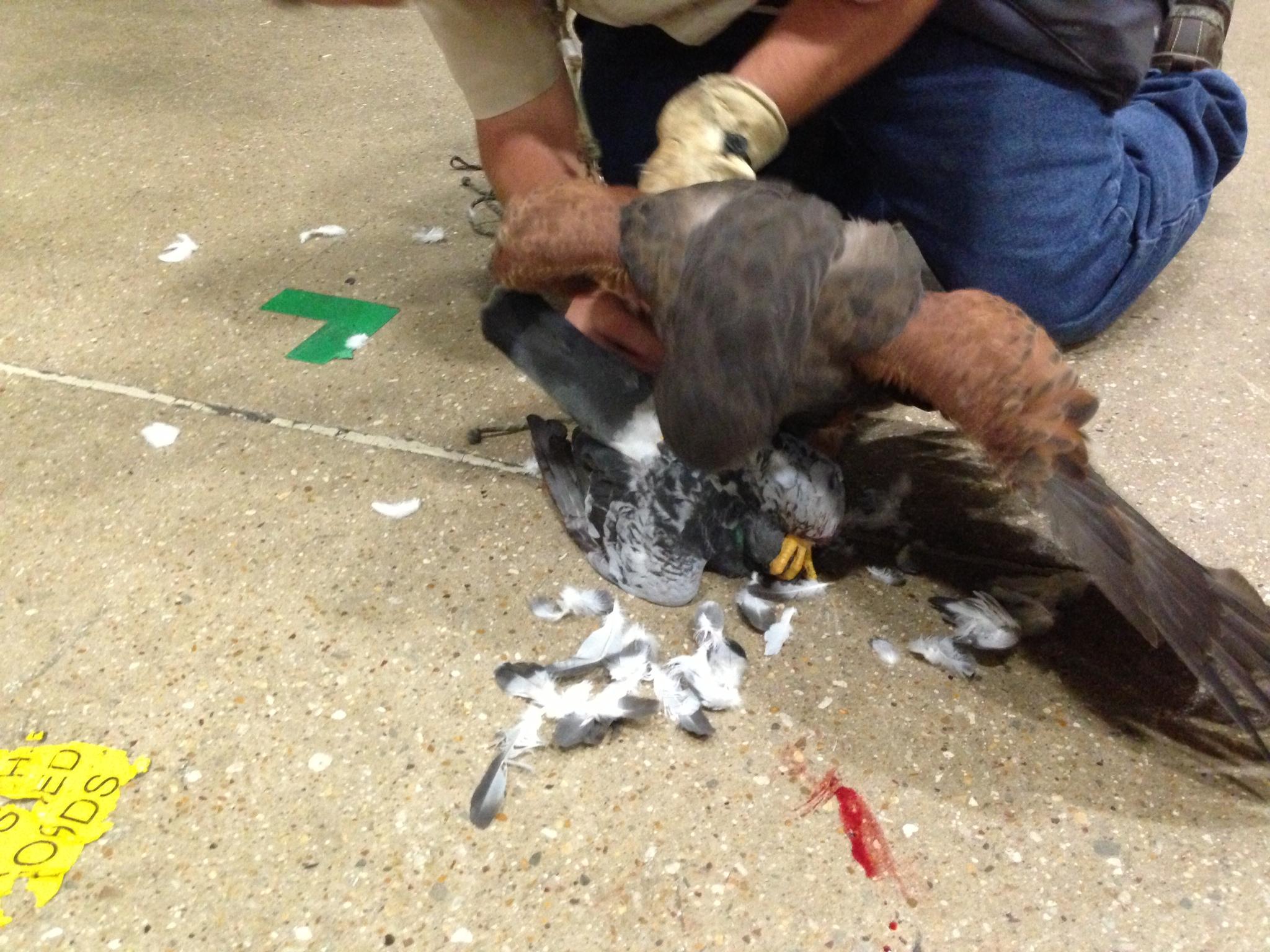 Harris Hawk catching pigeon